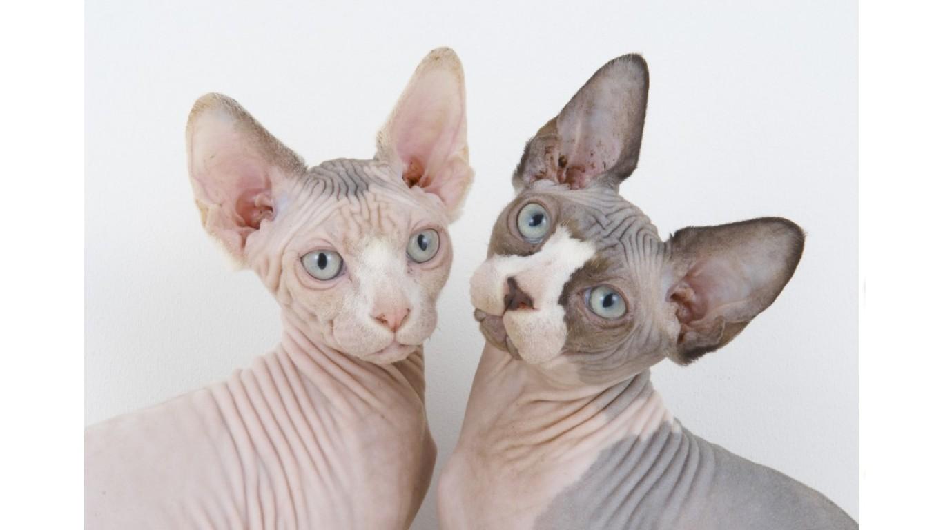 Serrade Petit Cat: Serrade Sphynx Cats Breed