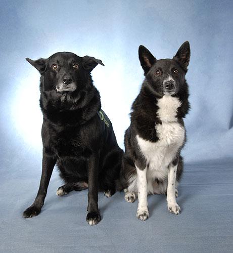 Seskar Seal Puppies: Seskar Seskar Seal Dog Breed