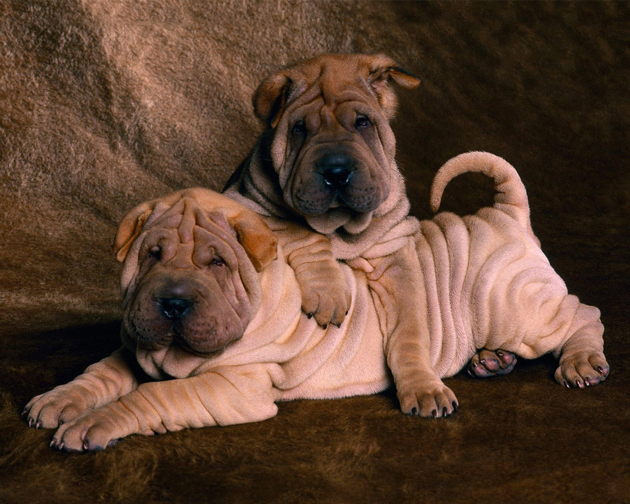 Shar Pei Puppies: Shar Img Shar Pei Puppies Breed