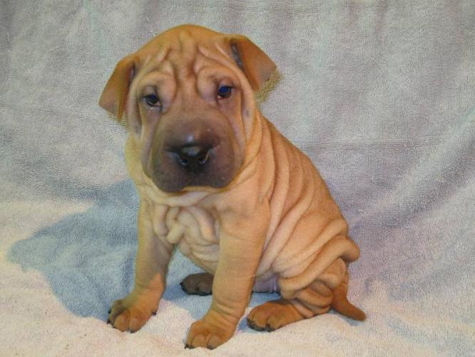 Shar Pei Puppies: Shar Mini Shar Pei Puppies Shar Pei Puppy Breed