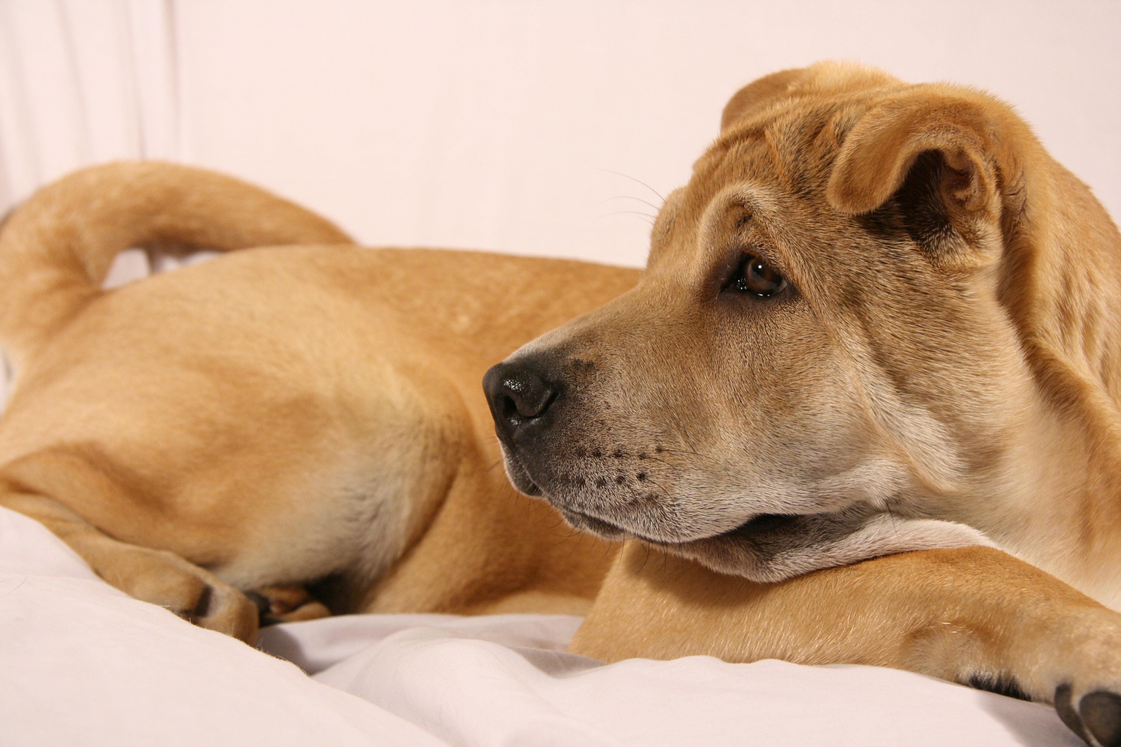 Shar Pei Dog: Shar Shar Pei Dog Breed