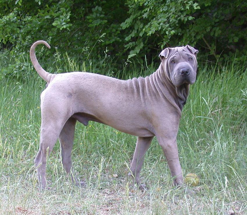 Shar Pei Dog: Shar Shar Pei Dog Breeders Shar Pei Dogs