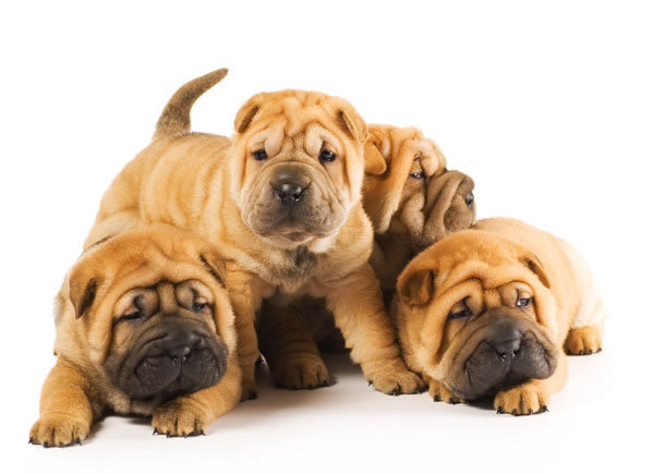 Shar Pei Puppies: Shar Shar Pei Puppies Chinese Shar Pei Breed