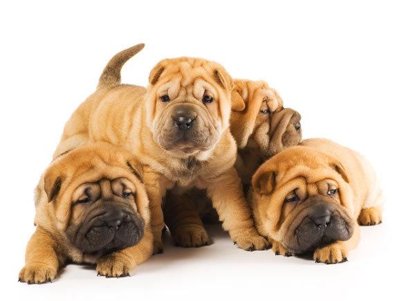 Shar Pei Puppies: Shar Shar Pei Puppies Chinese Shar Pei Breed