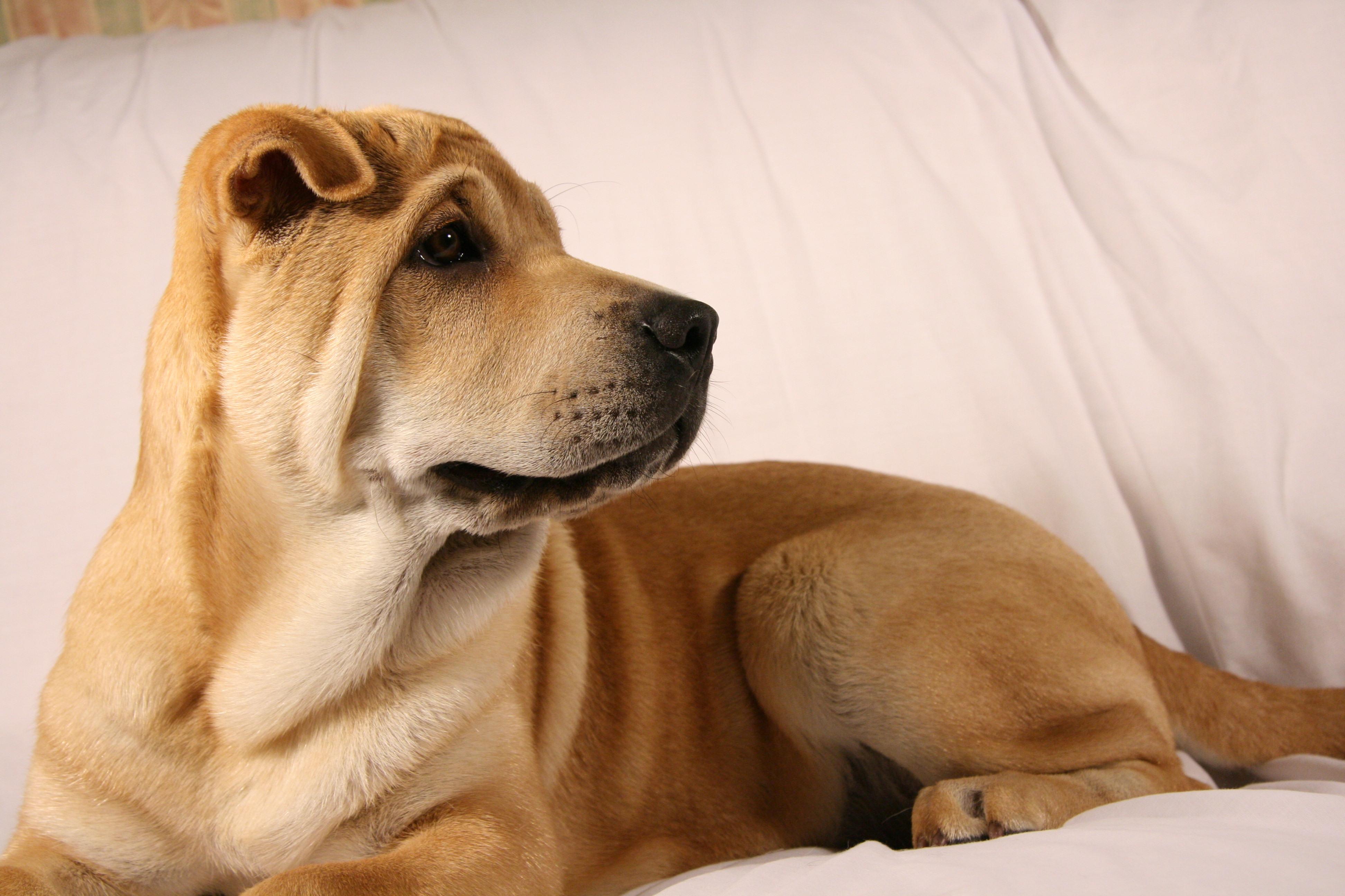 Shar Pei Puppies: Shar Siosalach Breed
