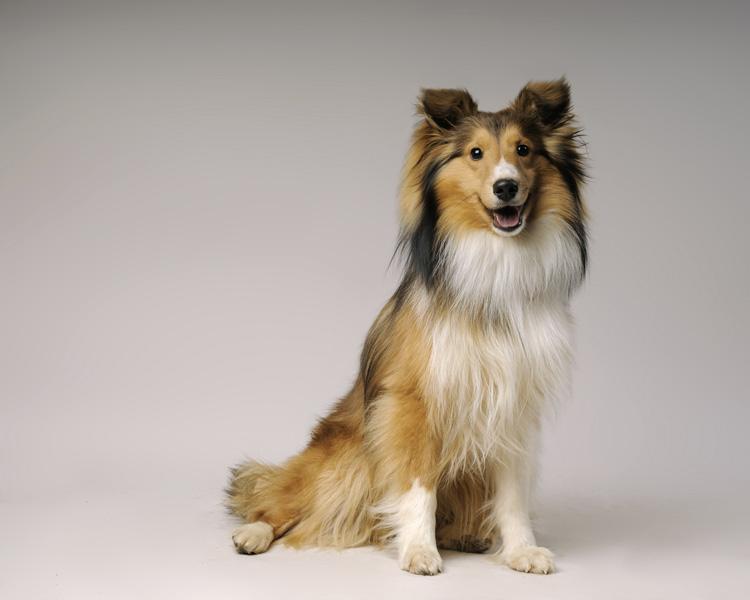 Shetland Sheepdog Dog: Shetland Breed