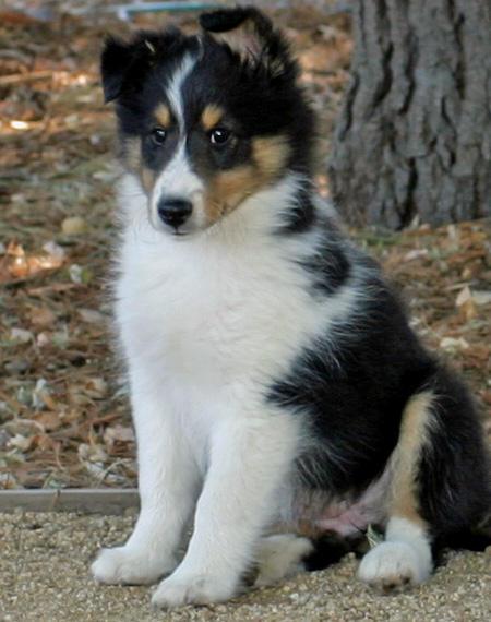 Shetland Sheepdog Dog: Shetland Brooklyn The Shetland Sheepdog Breed