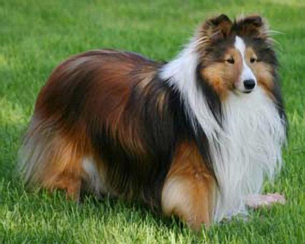 Shetland Sheepdog Dog: Shetland Dog Files Fact Shetland Sheepdog Breed