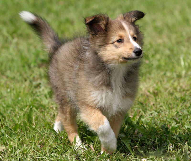 Shetland Sheepdog Dog: Shetland Shetland Sheepdog Breed