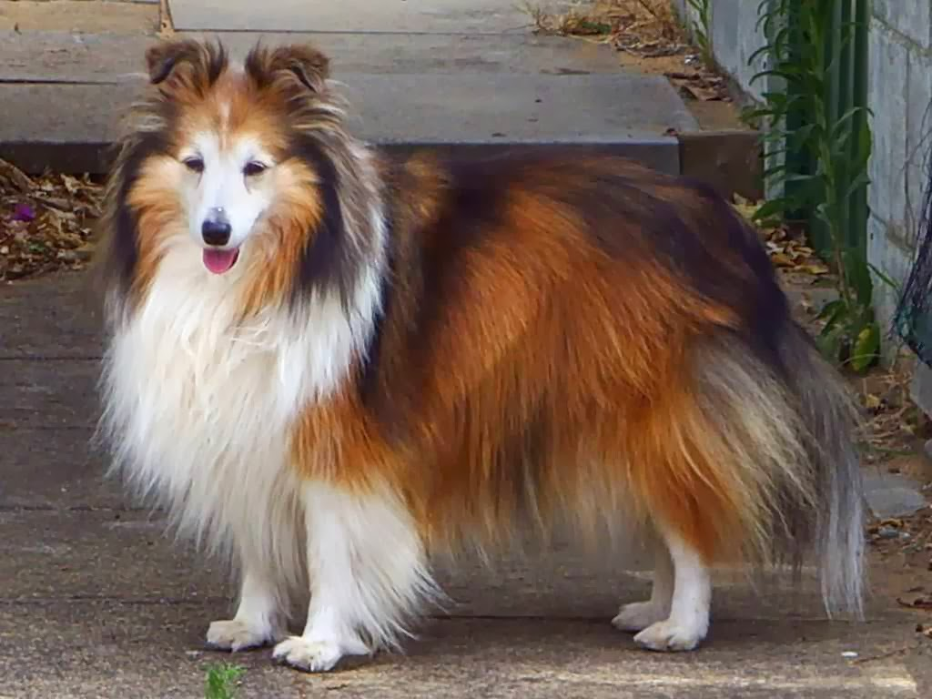 Shetland Sheepdog Dog: Shetland Shetland Sheepdog Dog Breed