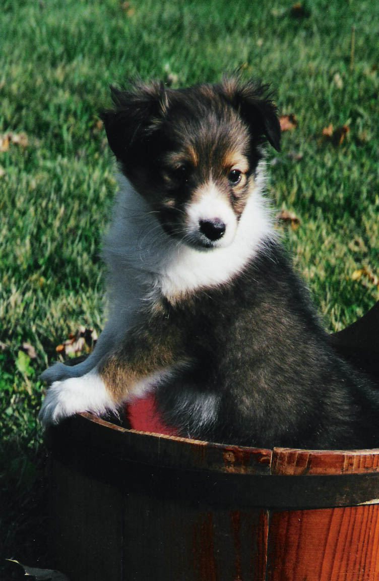 Shetland Sheepdog Puppies: Shetland Shetland Sheepdog Puppies Breed