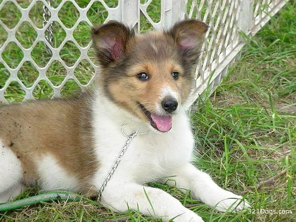 Shetland Sheepdog Dog: Shetland Shetlandsheepdog Breed