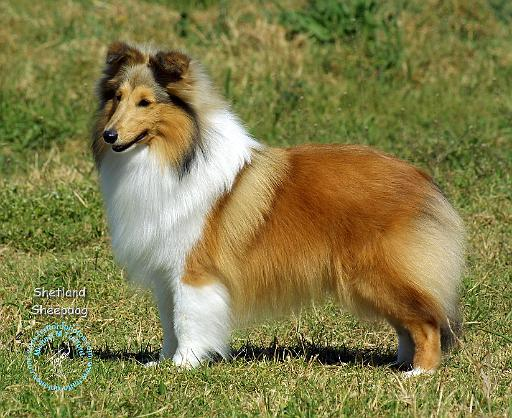 Shetland Sheepdog Dog: Shetland Shetlandsheepdogpd Breed