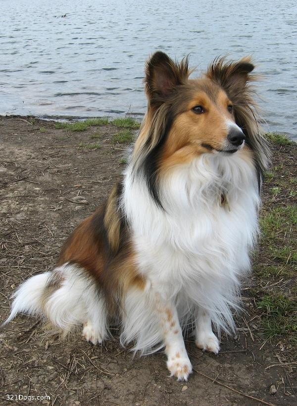 Shetland Sheepdog Dog: Shetland Viewtopic Breed