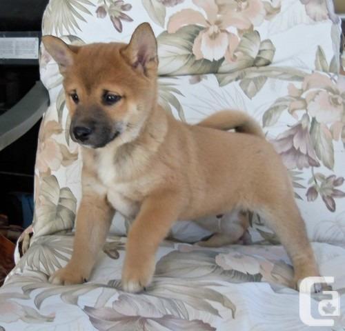 Shiba Inu Puppies: Shiba All Ready Shiba Inu Puppies Calgary Breed