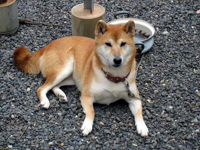 Shiba Inu Dog: Shiba Animalindex Breed