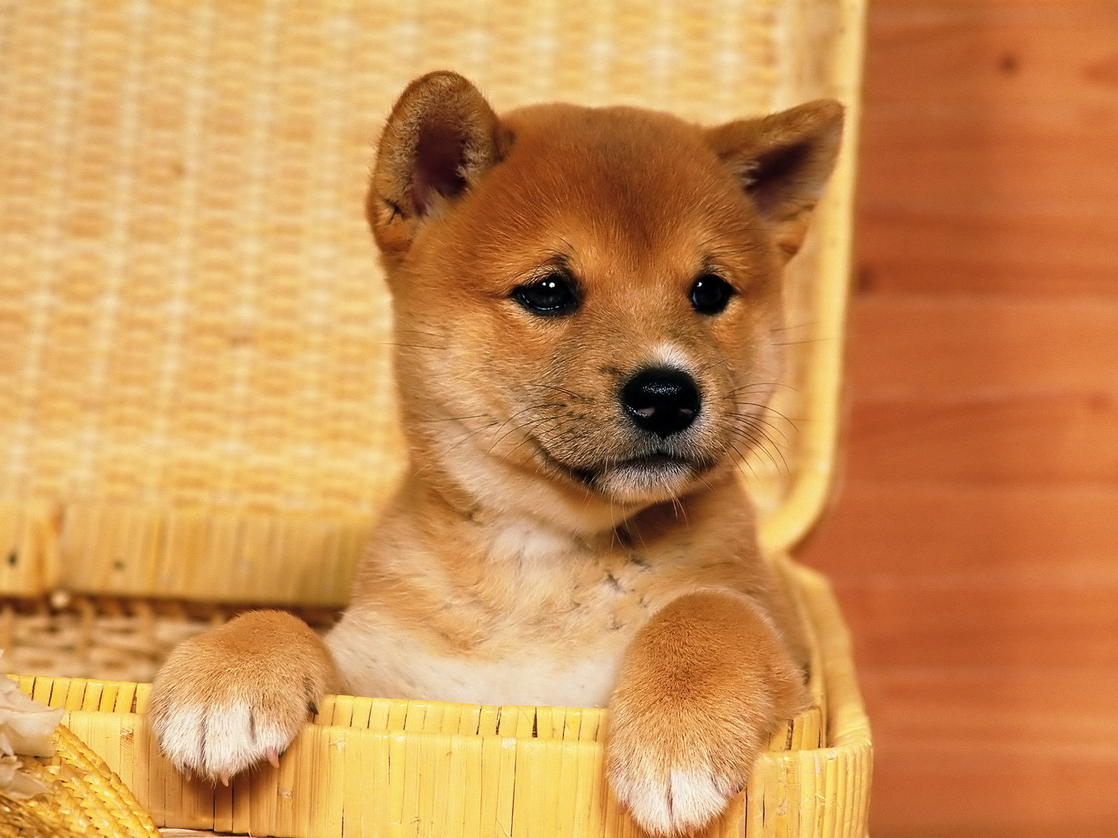 Shiba Inu Puppies: Shiba Cute Breed