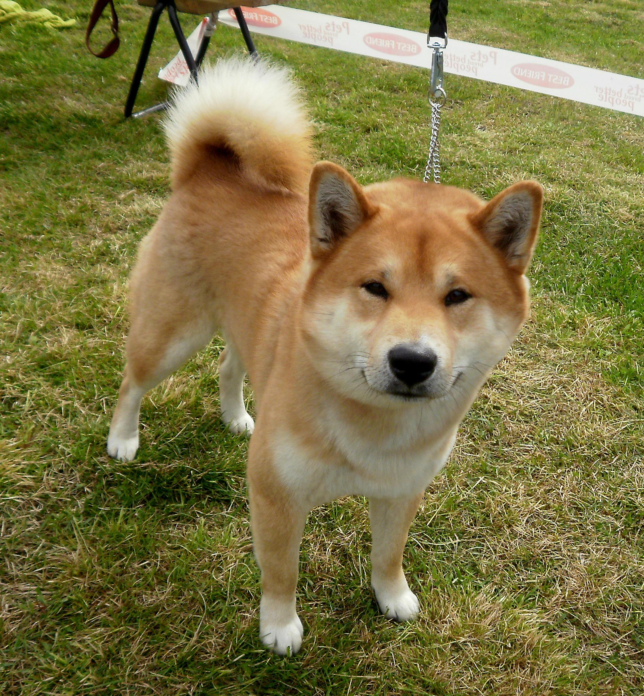 Shiba Inu Dog: Shiba Cute Shiba Inu Dog Breed