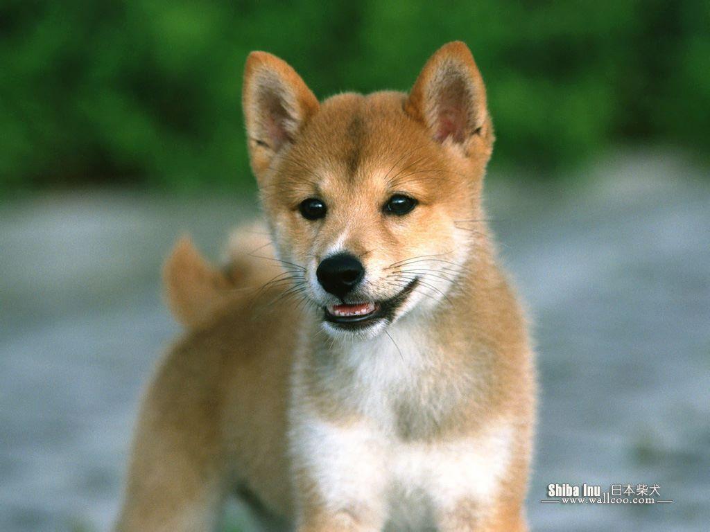 Shiba Inu Dog: Shiba Httpccsfanpopcomccsccshiba Inu Dogs Jpg Breed
