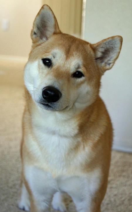 Shiba Inu Dog: Shiba Kaiser The Shiba Inu Breed