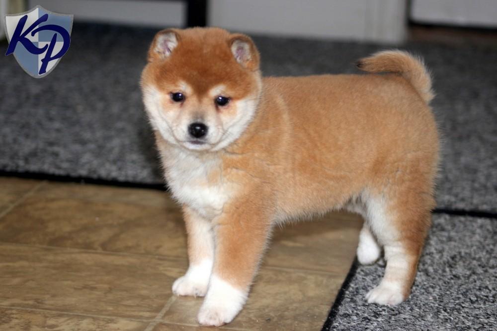 Shiba Inu Puppies: Shiba Keystonepuppies Breed