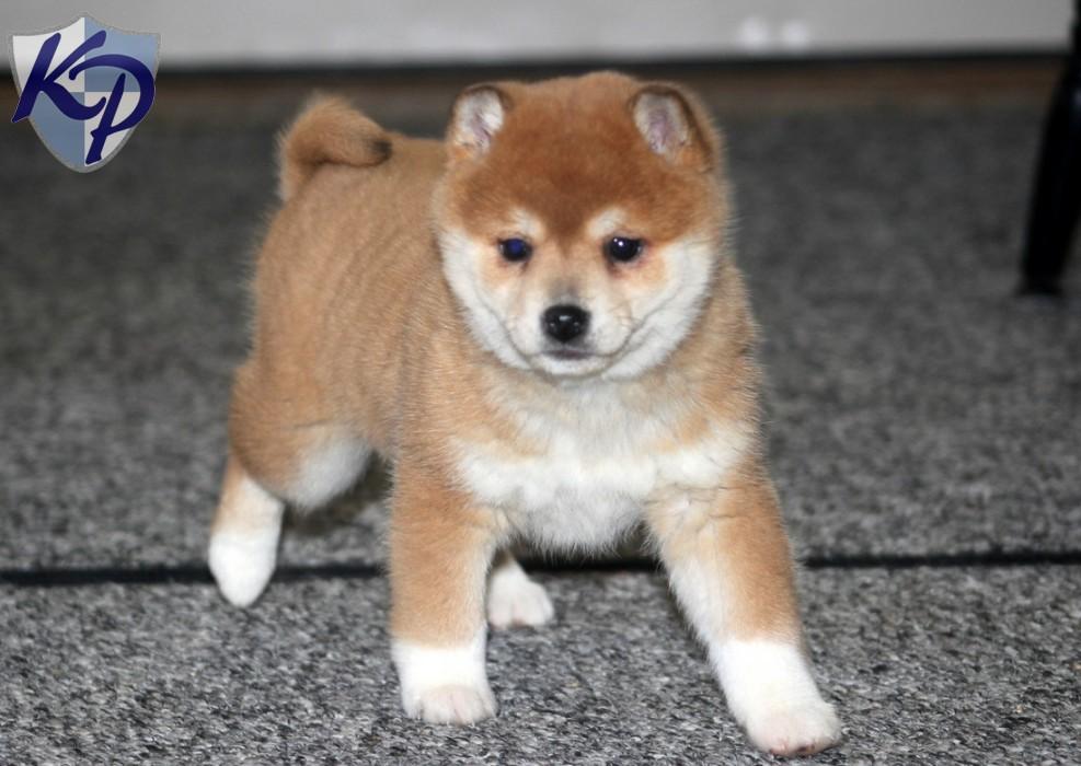 Shiba Inu Puppies: Shiba Olivia Breed