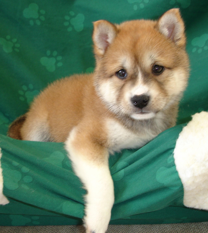 Shiba Inu Puppies: Shiba Red Sesame Shiba Inu Puppies Breed