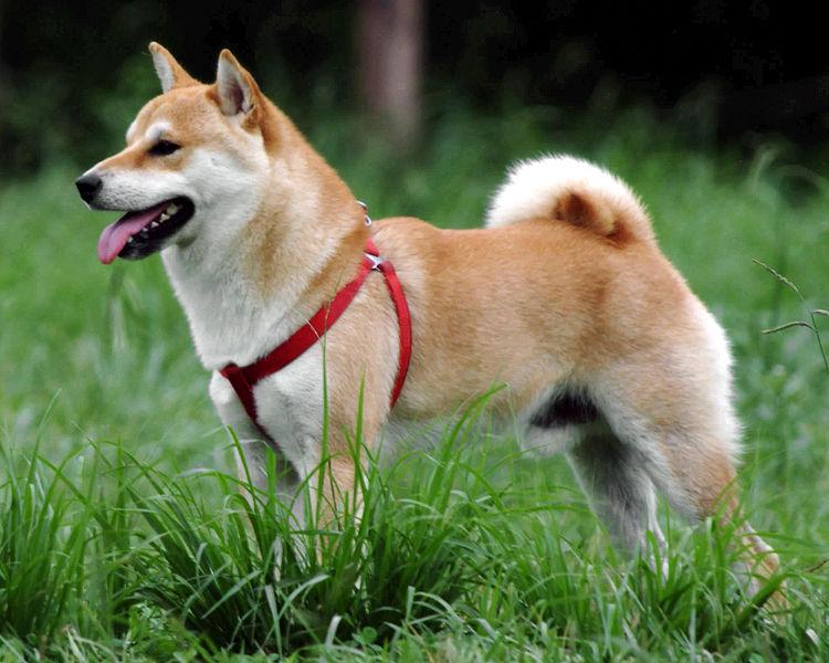 Shiba Inu Dog: Shiba Shiba Inu Dog Breed