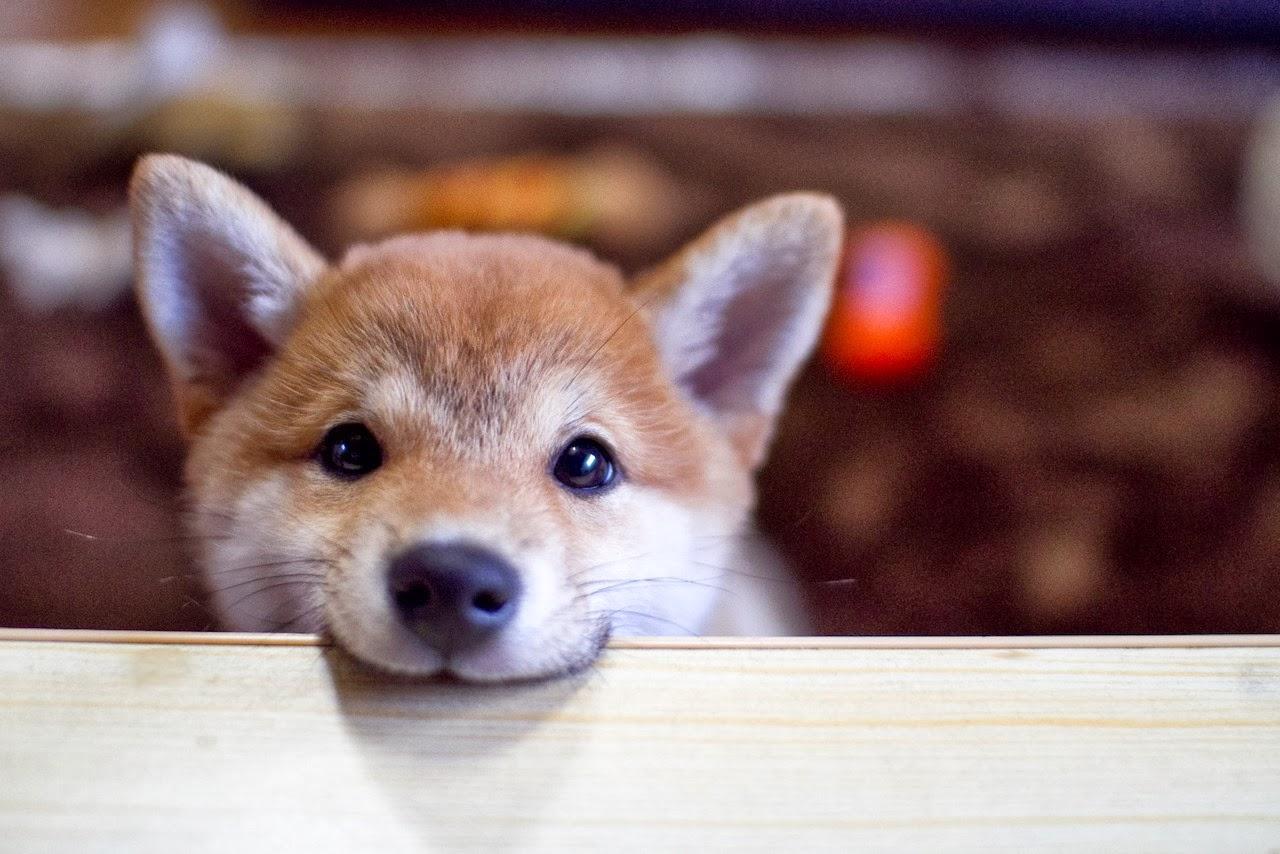 Shiba Inu Puppies: Shiba Shiba Inu Puppies Breed