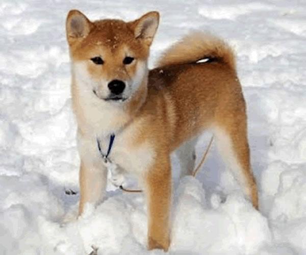 Shiba Inu Puppies: Shiba Shibainupuppygif Breed