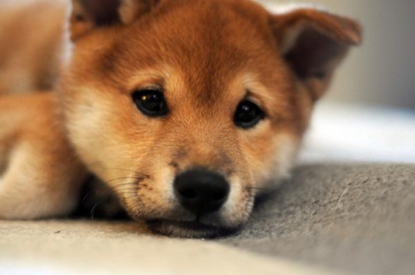 Shiba Inu Puppies: Shiba The Little Fox Shiba Inu Breed