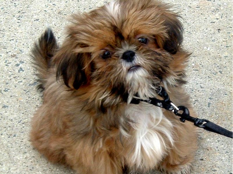 Shih Tzu Dog: Shih Brown Shih Tzu Dog Breed