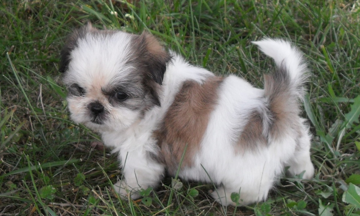 Shih Tzu Dog: Shih Cute Shih Tzu Puppies Pictures And Breed