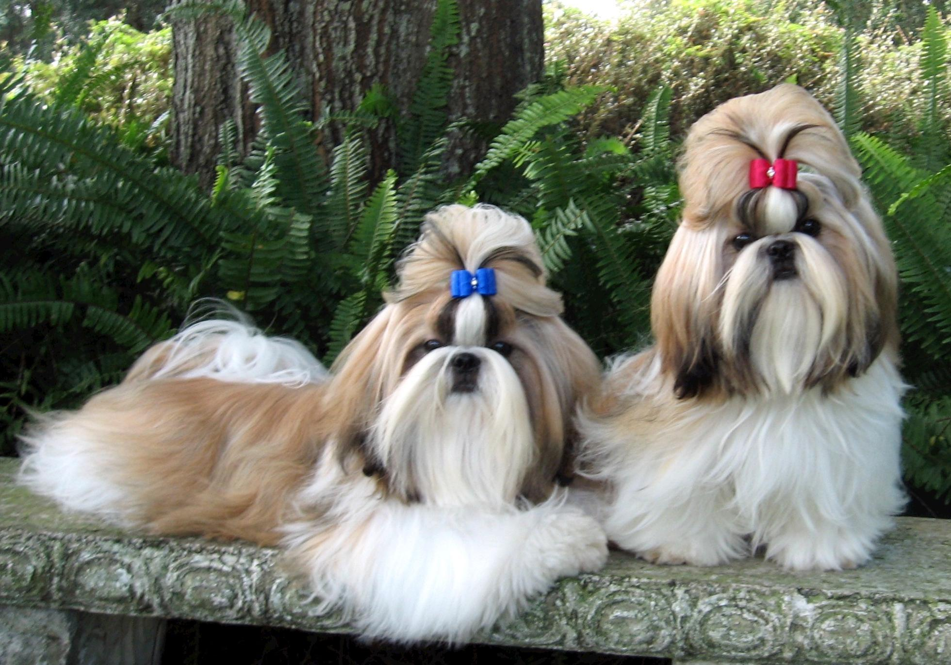 Shih Tzu Dog: Shih Shih Tzu Breed