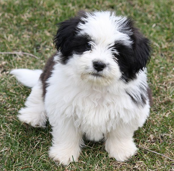 Shih Tzu Dog: Shih Shih Tzu Cute Dogs Pictures Breed