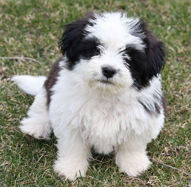 Shih Tzu Dog: Shih Shih Tzu Cute Dogs Pictures Breed