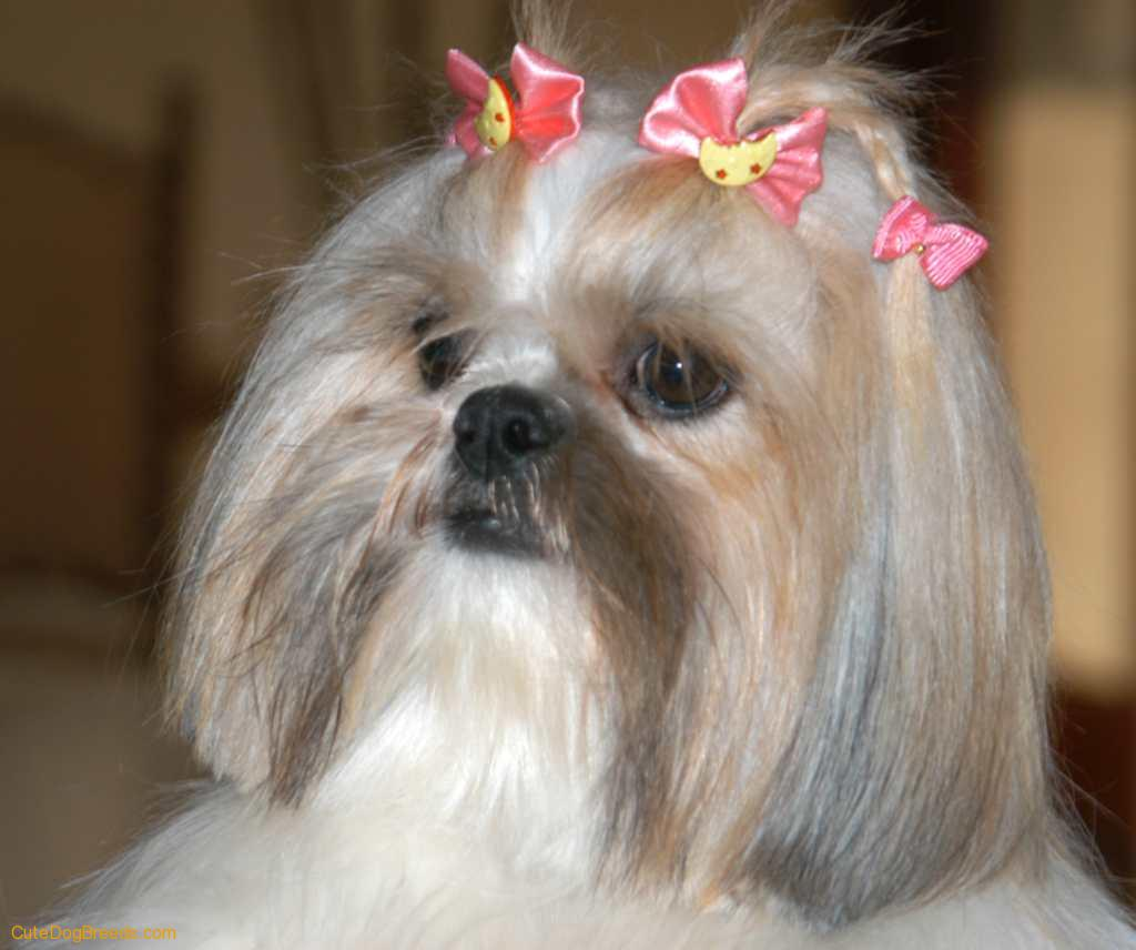 Shih Tzu Dog: Shih Shih Tzu Dog Breed