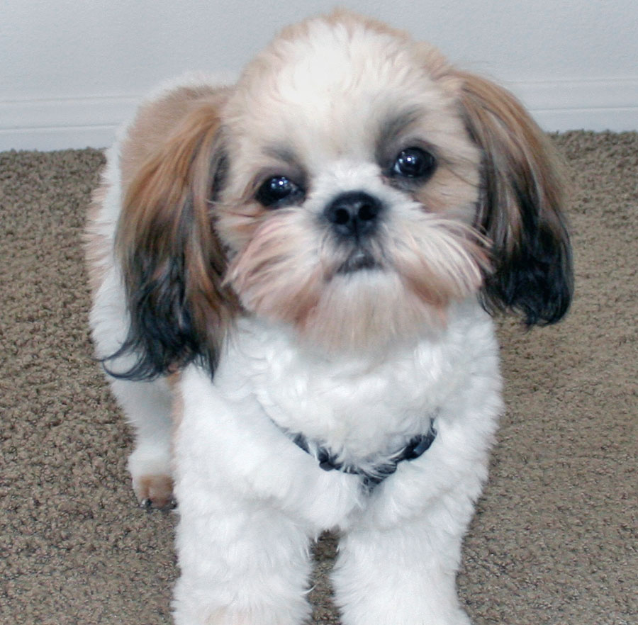 Shih Tzu Dogs For Sale Uk