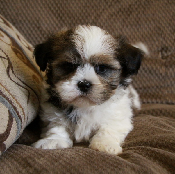 Shih Tzu Puppies: Shih Shih Tzu Puppies For Sale Breed