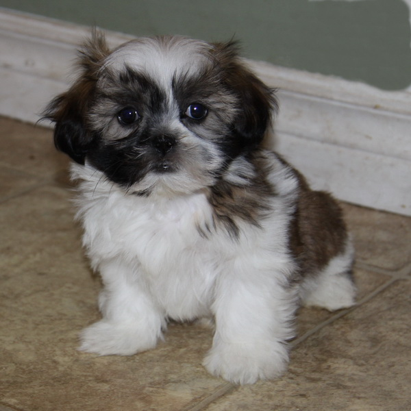 Shih Tzu Puppies: Shih Shih Tzu Puppies For Sale Tricolour Breed
