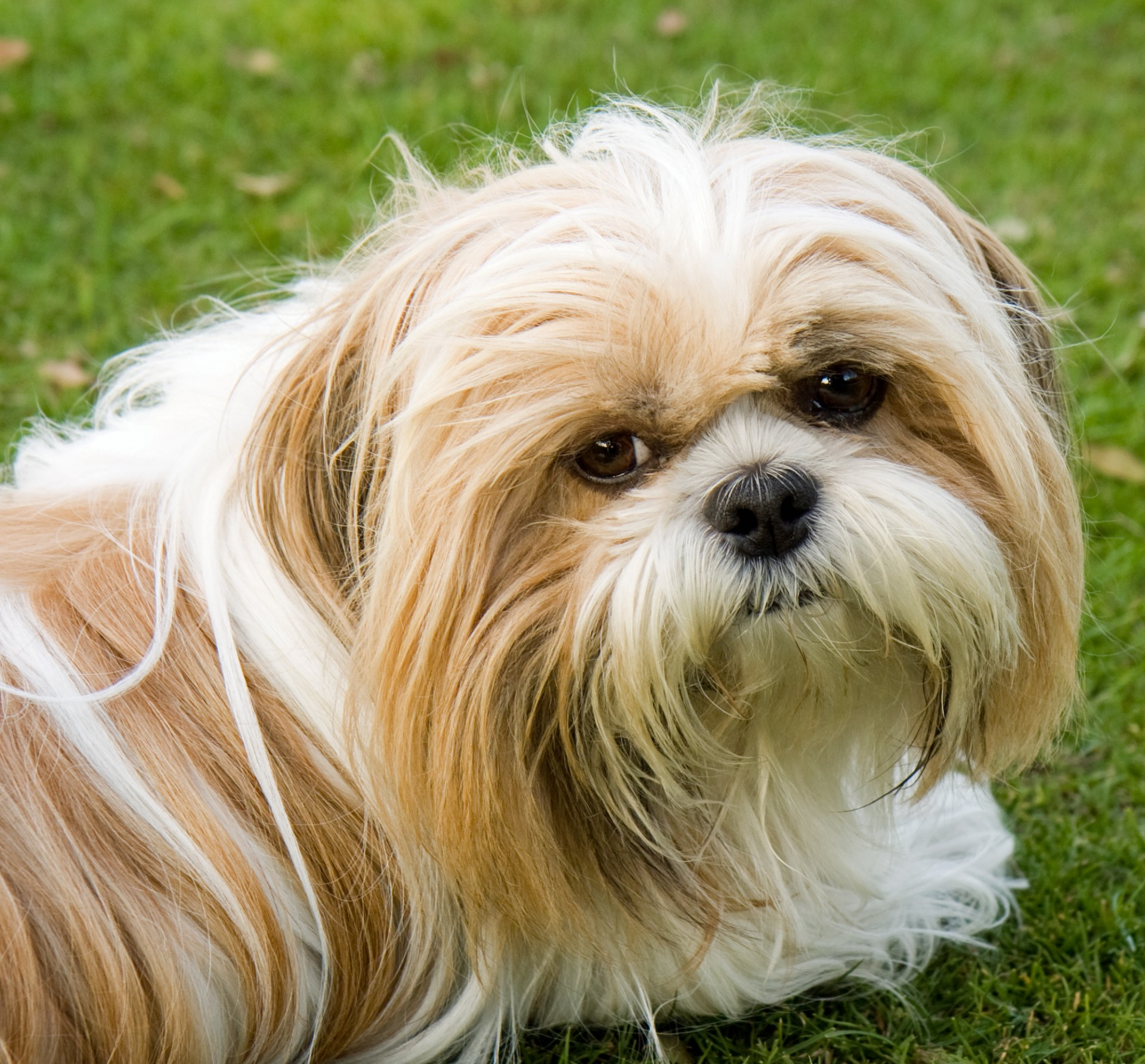 Shih Tzu Dog: Shih View Breed