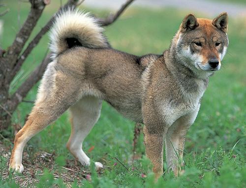 Shikoku Ken Dog: Shikoku Detail Breed