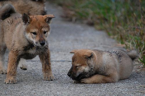 Shikoku Ken Puppies: Shikoku Index Breed