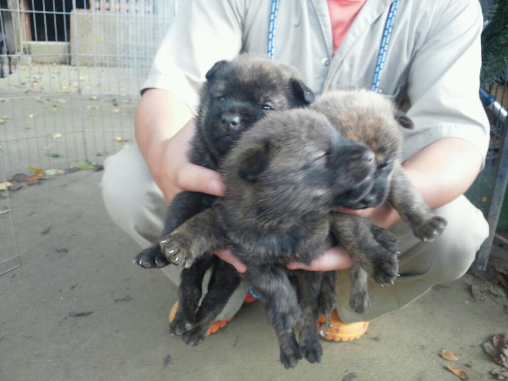 Shikoku Ken Puppies: Shikoku Kai Puppies At Gotenyama Breed