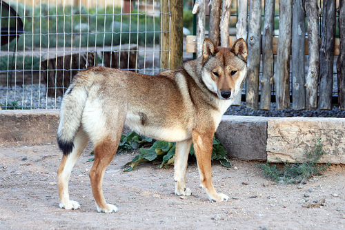 Shikoku Ken Dog: Shikoku My Dogs Breed