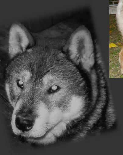 Shikoku Ken Dog: Shikoku Nihonken Breed