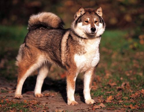 Shikoku Ken Dog: Shikoku S Breed