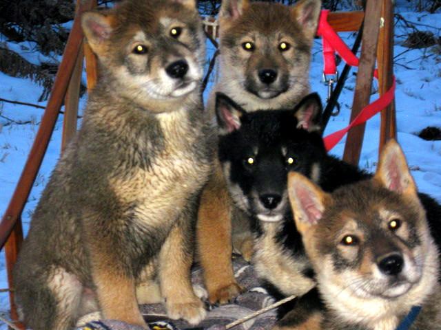 Shikoku Ken Dog: Shikoku Shikoku Breed