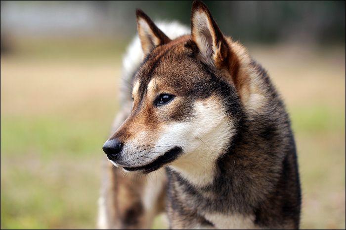 Shikoku Ken Dog: Shikoku Shikoku Dog Breed