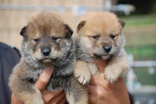 Shikoku Ken Puppies: Shikoku Shikokuinu Breed